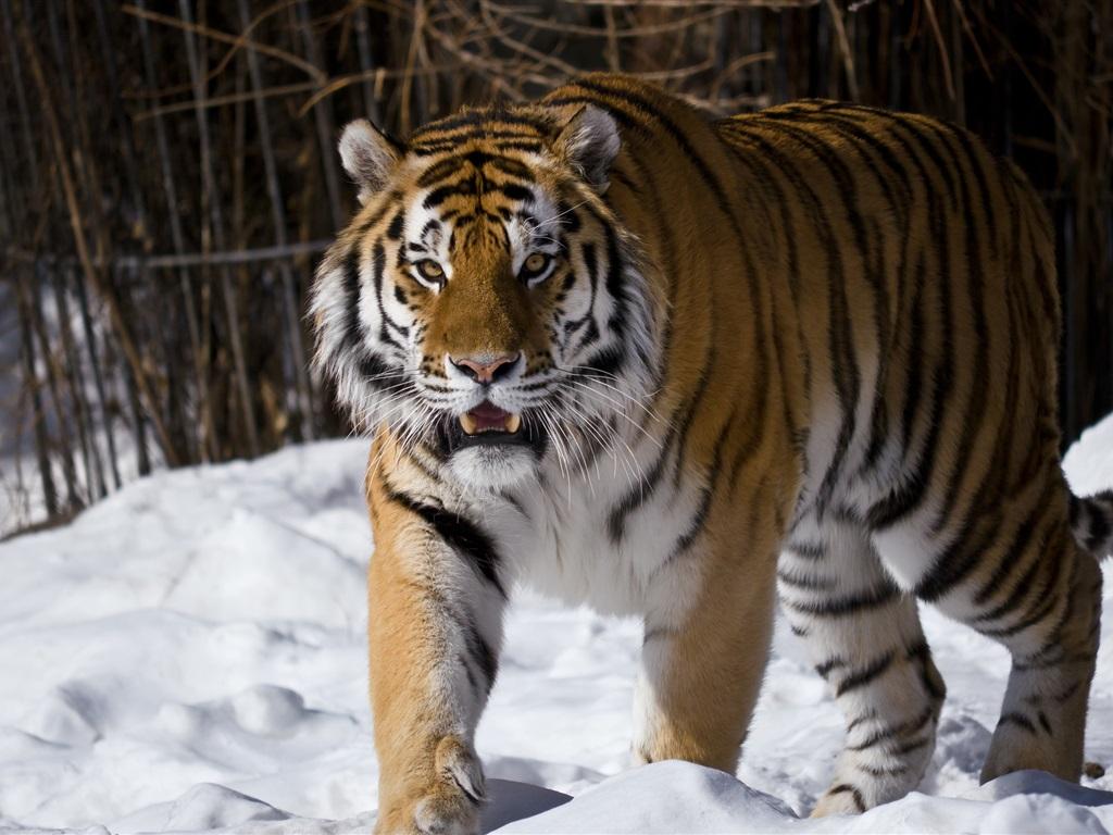 tigr hunt5