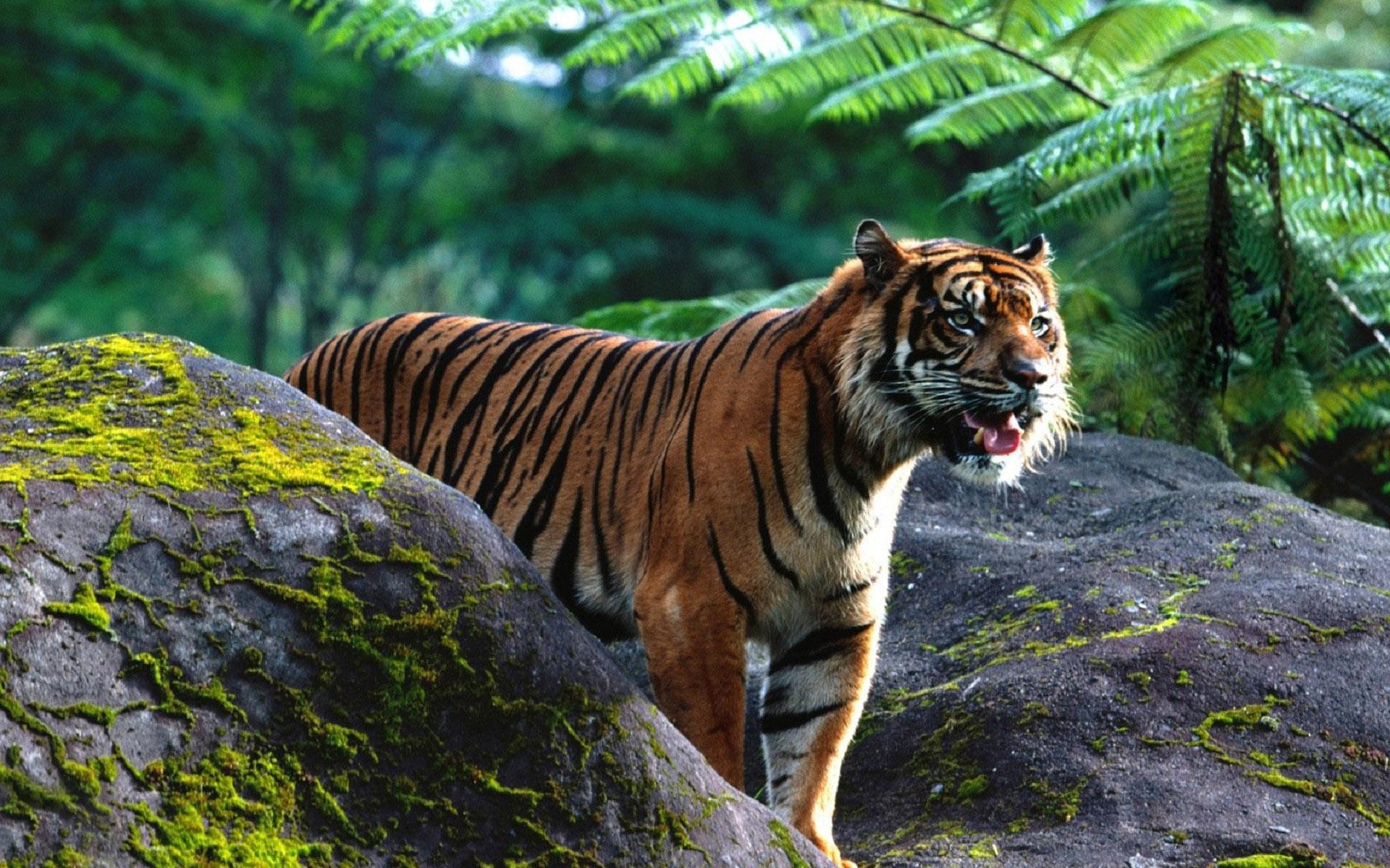 tigr hunt7