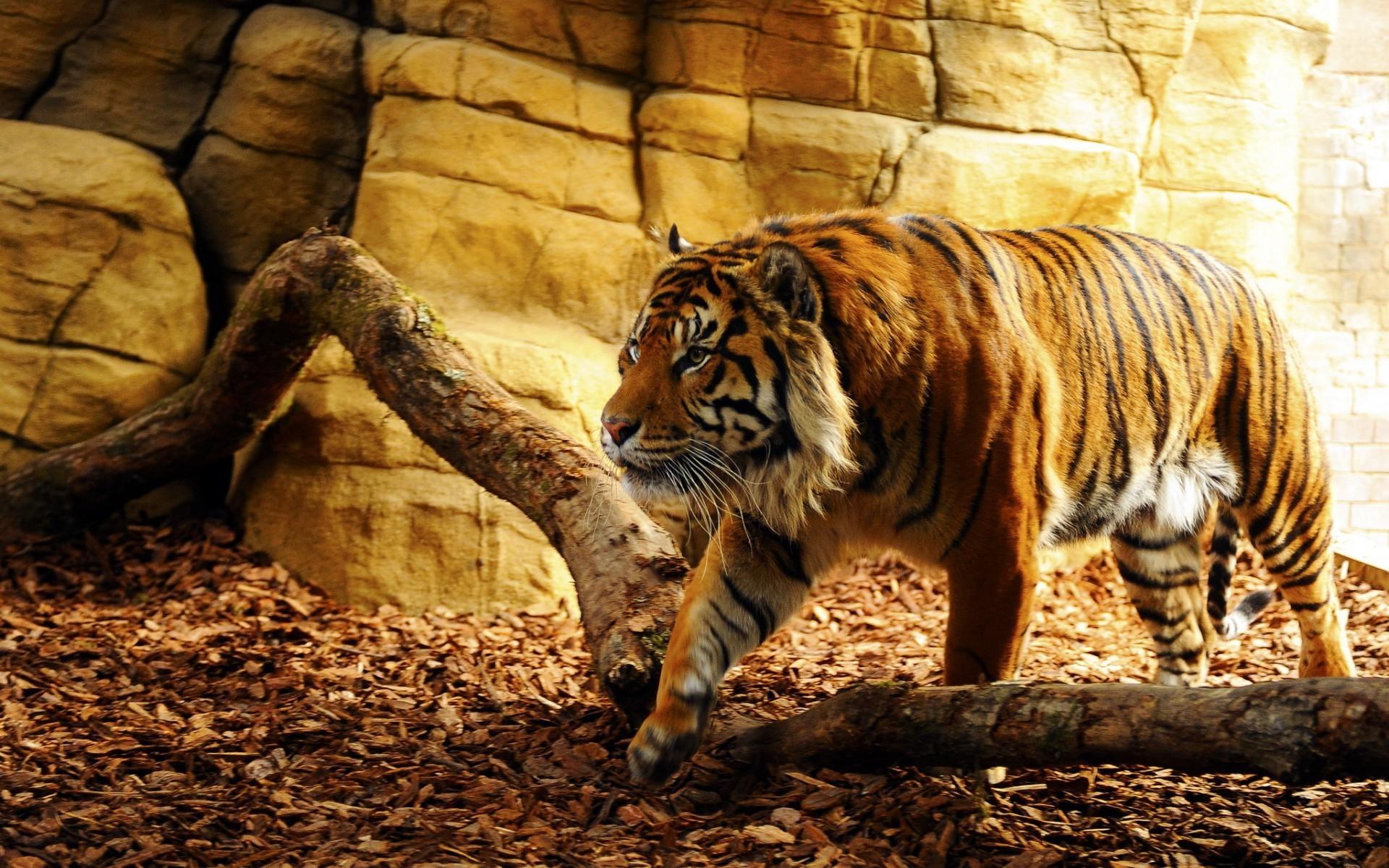 tigr hunt8