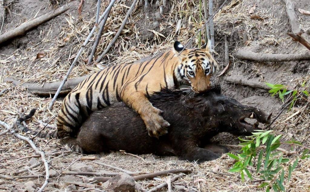 tigr hunt9