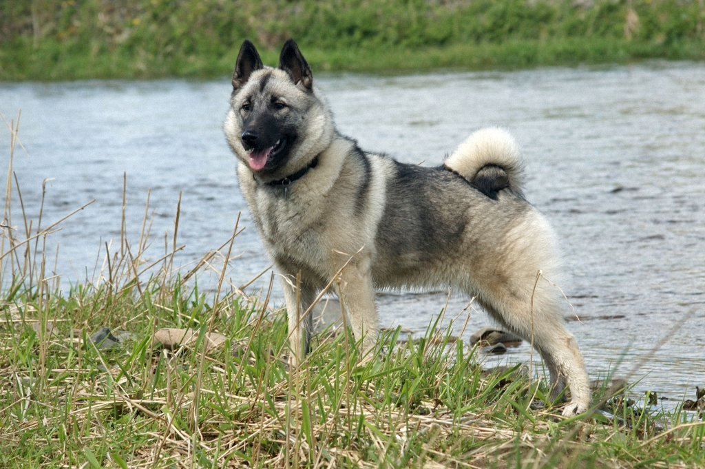 norwegian elkhound1