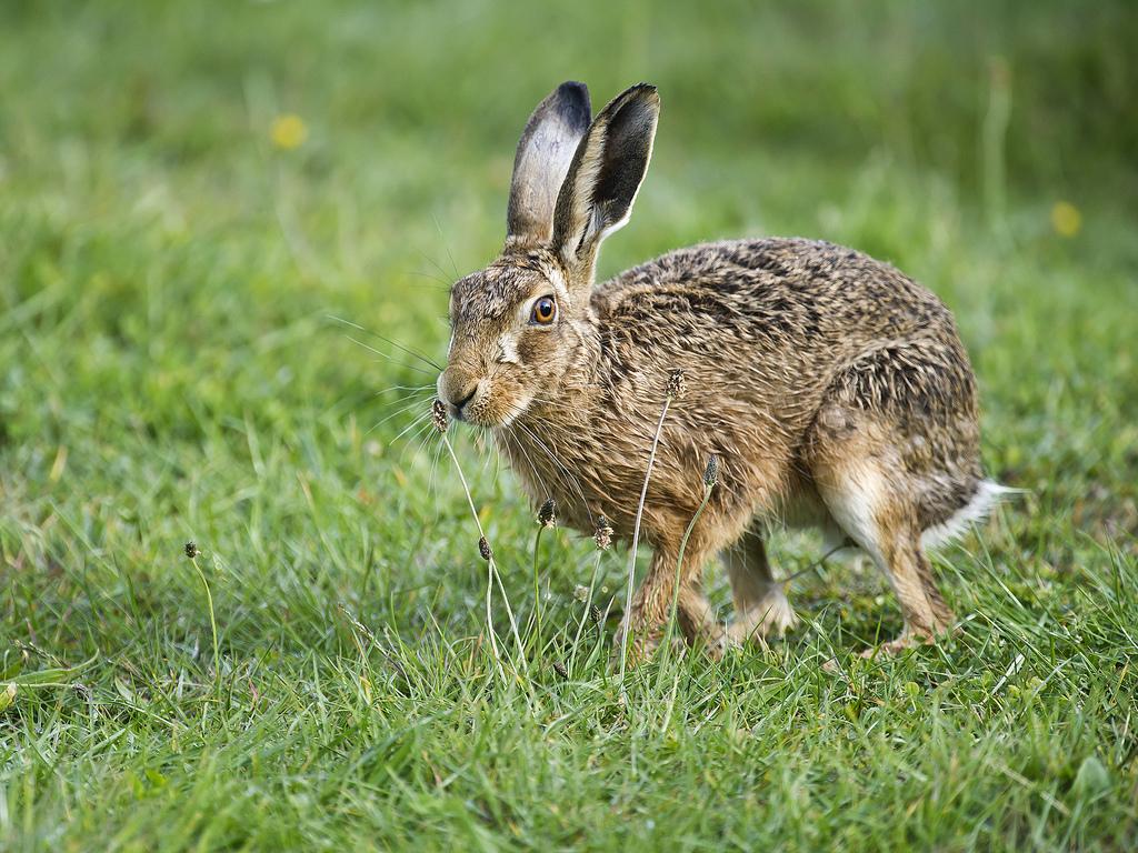 Заяц русак и заяц беляк- описание, распространение, сходство и отличие