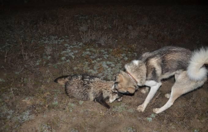 охота на енота с лайкой1