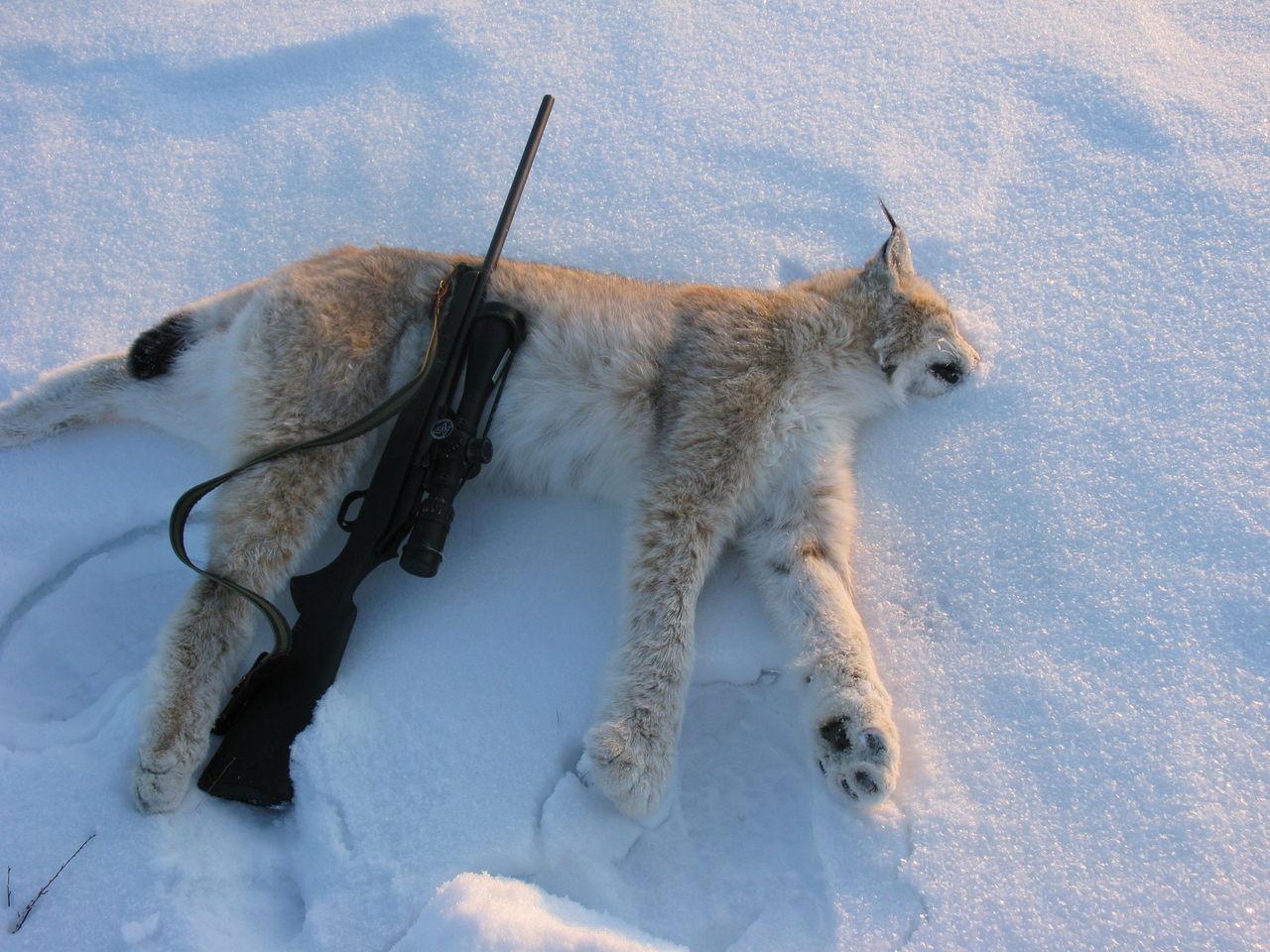 охота на рысь с лайкой3